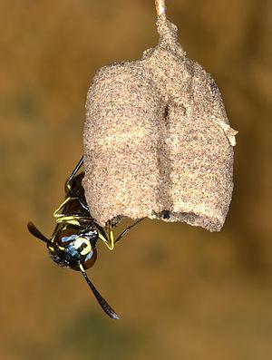 Parischnogaster striatula - Parischnogaster striatula