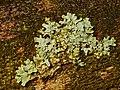 Parmelia sulcata 101197963.jpg