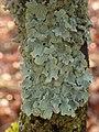 Parmelia sulcata 107741236.jpg