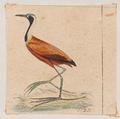 Parra albinucha - 1820-1863 - Print - Iconographia Zoologica - Special Collections University of Amsterdam - UBA01 IZ17500281 cropped.png