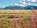 Parry Penstemon & the Huachuca Mountains.jpg