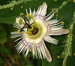 Passiflora pardifolia descrita el 2006