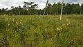 Pedicularis sceptrum-carolinum - Habitat - Niitvälja bog.jpg