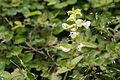 Pedicularis yezoensis 08.jpg