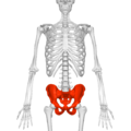 Pelvis (male) 01 - anterior view.png