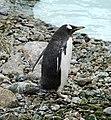 Penguin, Belfast Zoo - geograph.org.uk - 1766953.jpg