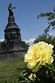 Peonies bloom in Arlington National Cemetery (17681810699).jpg