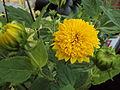 Perennial sunflower 002.jpg