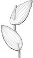 Perfoliate (PSF).png