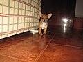 Perro cruze CHYTCK.jpg