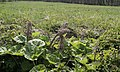 Petasites hybridus Weier- und Winterbach.jpg