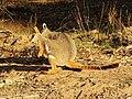 Petrogale xanthopus (44557497821).jpg