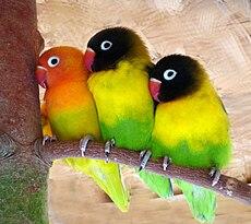Lovebirds Deutsch