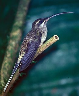Phaethornis longirostris baroni