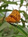 Phalanta phalantha Drury, 1773 – Common Leopard at Perumpady 2018 (35).jpg