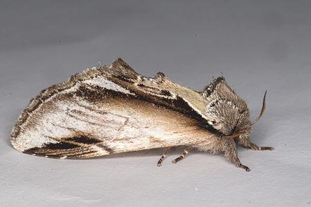 Pheosia gnoma, Lodz(Poland)03(js).jpg