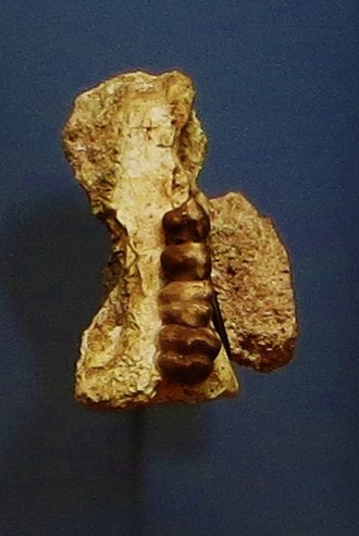 Phosphatherium - Fossil