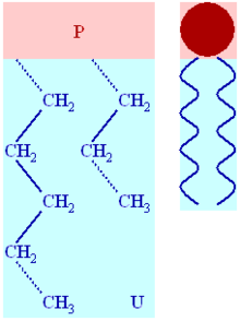 Phospholipid structure.png