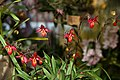 Phragmipedium Mem. Dick Clement - Internationale Orchideen- und Tillandsienschau Blumengärten Hirschstetten 2016 b.jpg