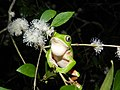 Phyllomedusa iheringii (rana monito) vocalizando.Pampa um Bioma+.jpg