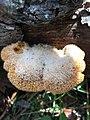 Phyllotopsis nidulans 109495039.jpg