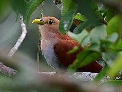 240px piaya cayana (cuco ardilla   squirrel cuckoo) (30897696267)