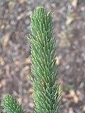 Picea alcoquiana zampach1.JPG