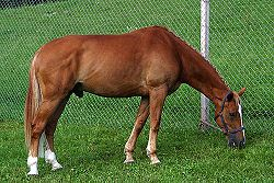 Pferdemännchen
