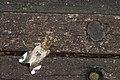 Pida decolorata maculosa (40527659991).jpg
