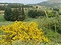 PikiWiki Israel 2274 Plants of Israel קידה שעירה.jpg