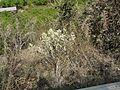Pindidonda (Telugu- పిండిదొండ) (3350974237).jpg