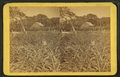 Pineapple and bananas. (View of field.), from Robert N. Dennis collection of stereoscopic views.png