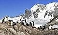 Pingüinos, Cuverville 3.jpg