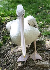Pink-backed Pelican 495.jpg