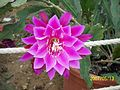 Pink Epiphyllum (3425040338).jpg