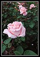 Pink Rose for a Blue Lady-1 (8550383489).jpg