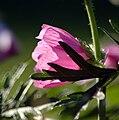 Pink malva.jpg