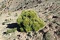 Pinus halepensis kz05 (Morocco).jpg