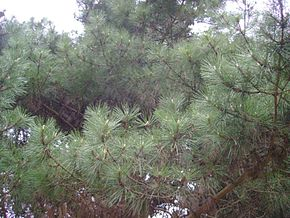 Description de l'image Pinus muricata branches.jpg.