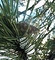 Pinus nigra Cyprus3.jpg