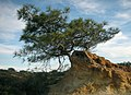 Pinus torreyana.jpg