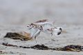 Piping Plovers (26159216273).jpg