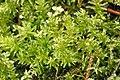 Plagiomnium.undulatum.2.jpg