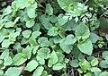 Plant community of Galio-Urticetea.jpg