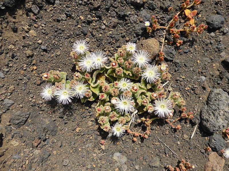 File:Planta conocida como barrilla, Isla de El Hierro, Canarias, España.JPG