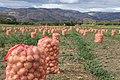 Plantación de cebollas - Boyacá - panoramio.jpg