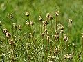 Plantago sempervirens 2015-05-17 02.jpg