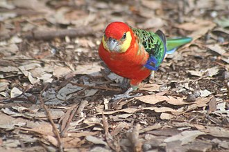 Dragon Rocks Nature Reserve - The reserve is an important site for the western rosella