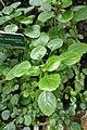 Plectranthus amboinicus-Jardin des Plantes de Paris (2).jpg