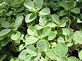 Plectranthus leaves.jpg